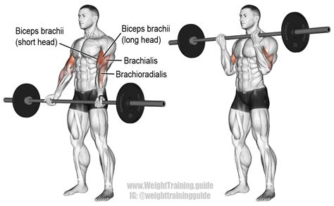 Barbell curl exercise instructions and video | Weight