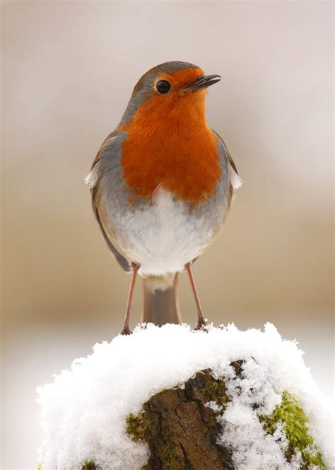 13 – Robin in snow | GT's Webfinds