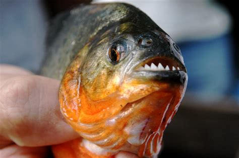 Piranha Fish | Doesn't look too mean, does it? | Mor | Flickr