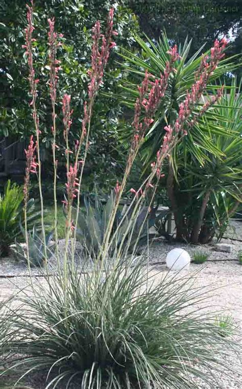 """The """"tough as nails"""" Red Yucca « The Laptop Gardener"""