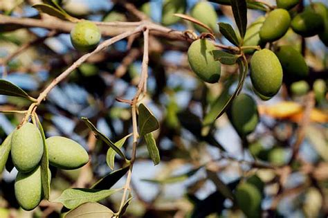 26 Types of Olives: A Guide to the Healthy Fruit
